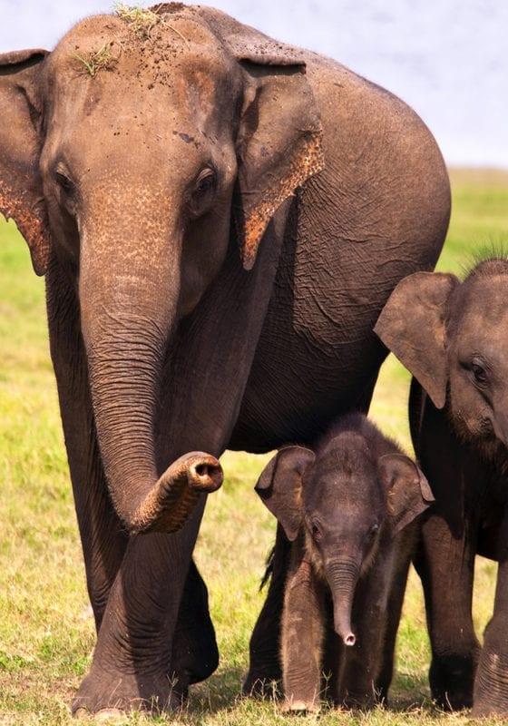 Elephant Faimly Sri Lanka