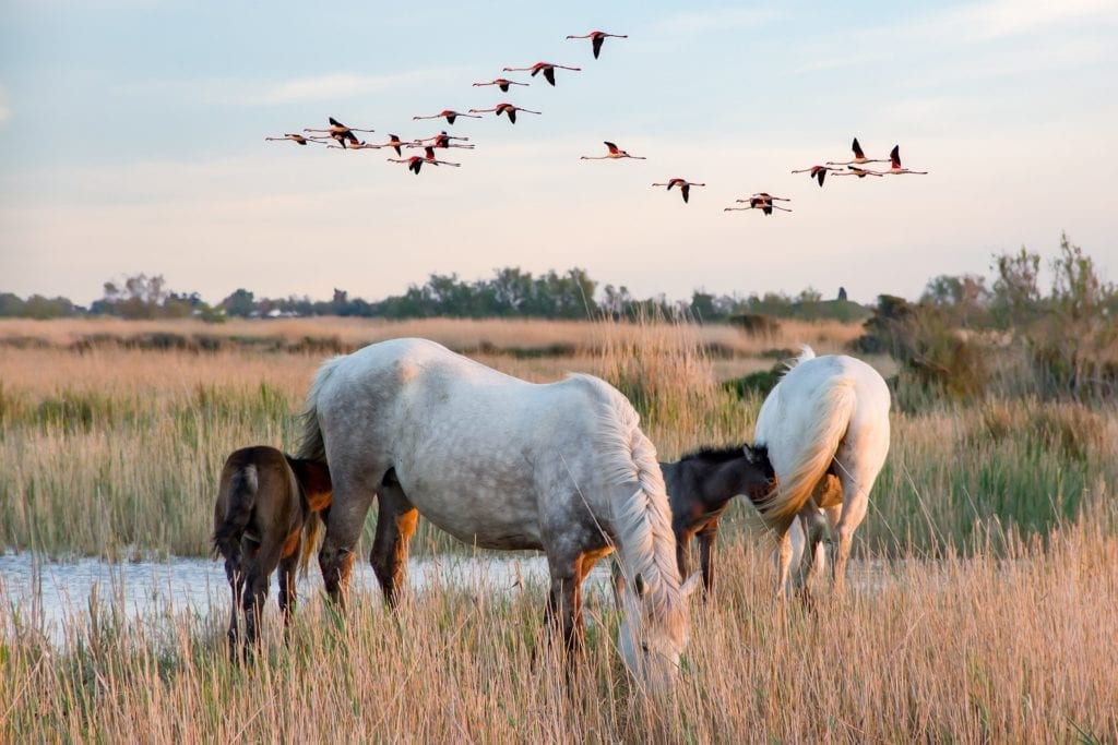 horses flamingoes camargue france