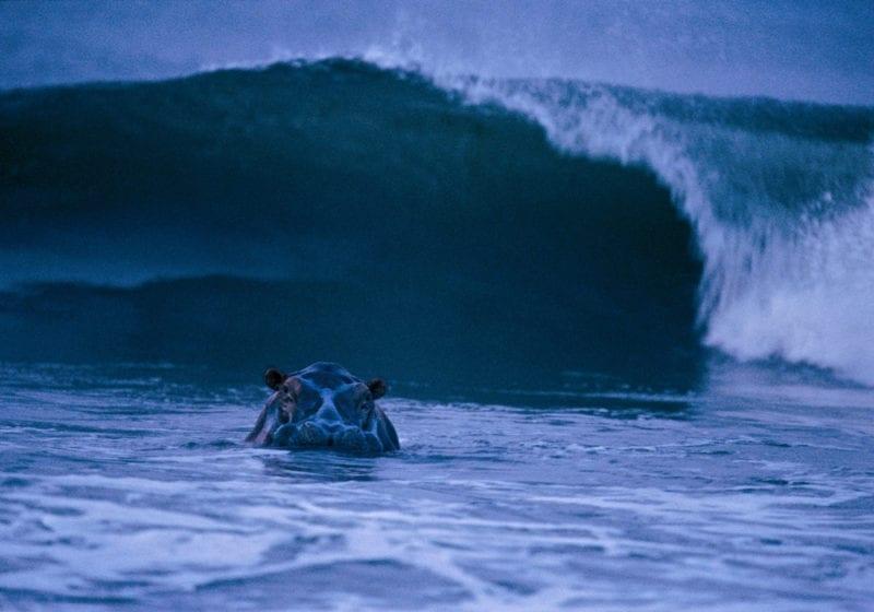 Gabon Surfing Hippo