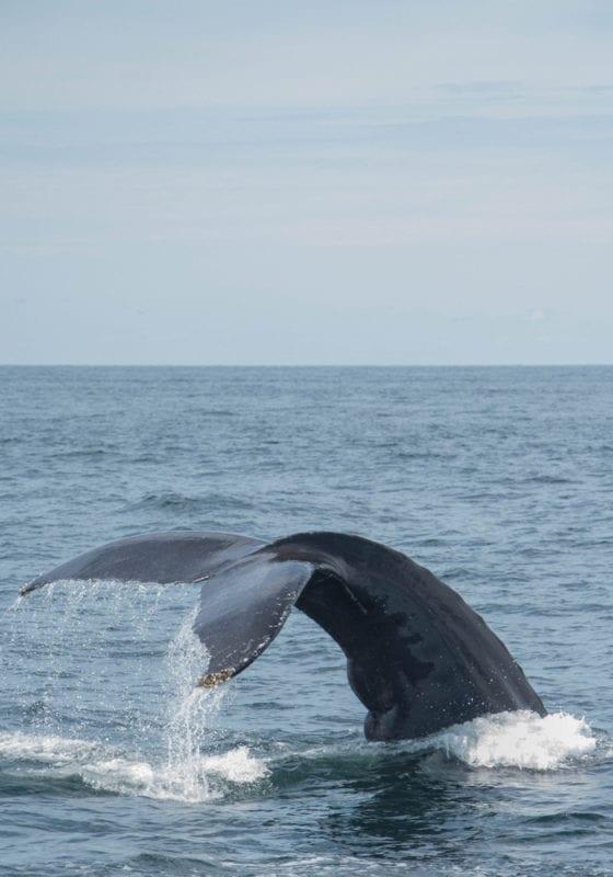 Whale in Gabon