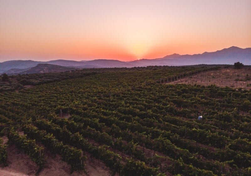 Vine yards at sunset in Greece