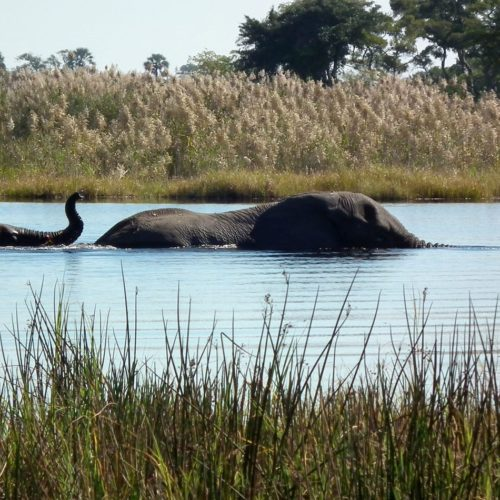 okavango botswana elephants swim