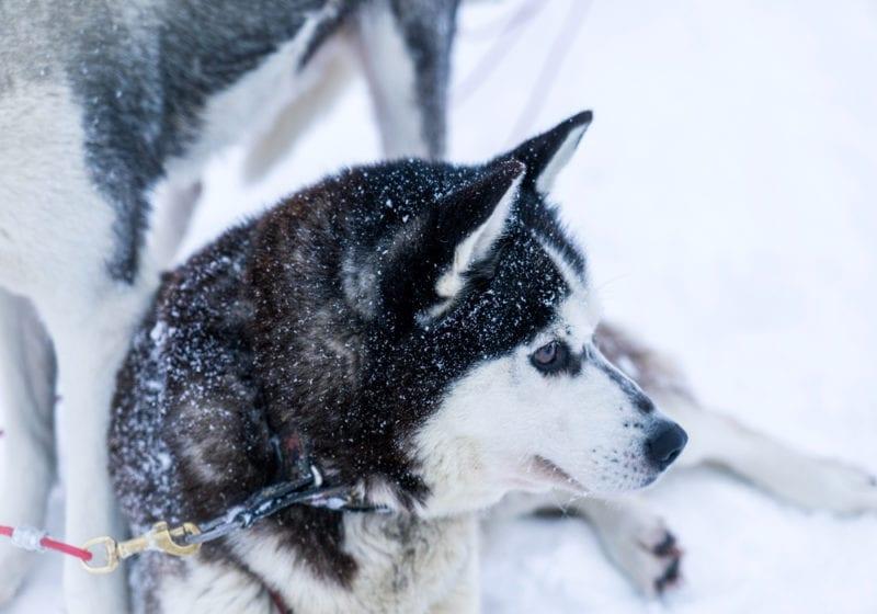 Huskie dog sled Finland