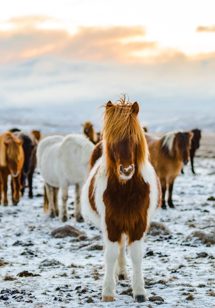 nordic ponies iceland