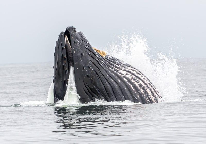 whale feeding iceland