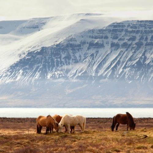 horses grazing iceland