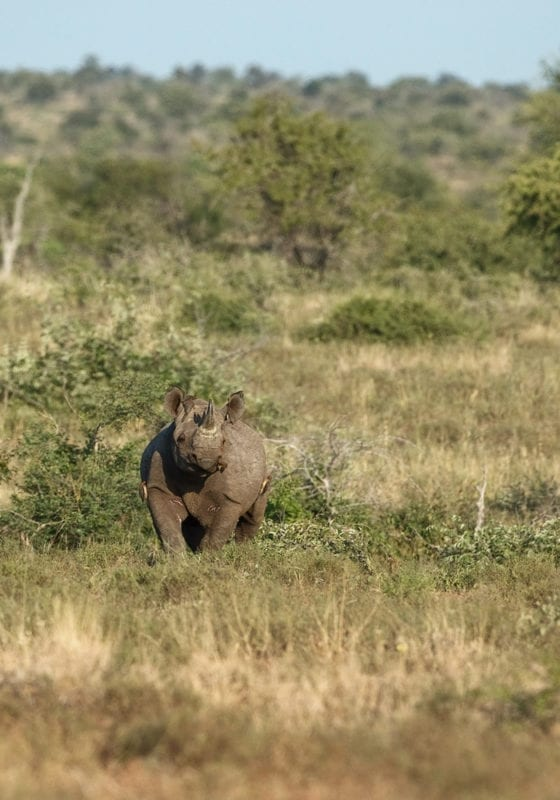 Malawi Rhino In Bush
