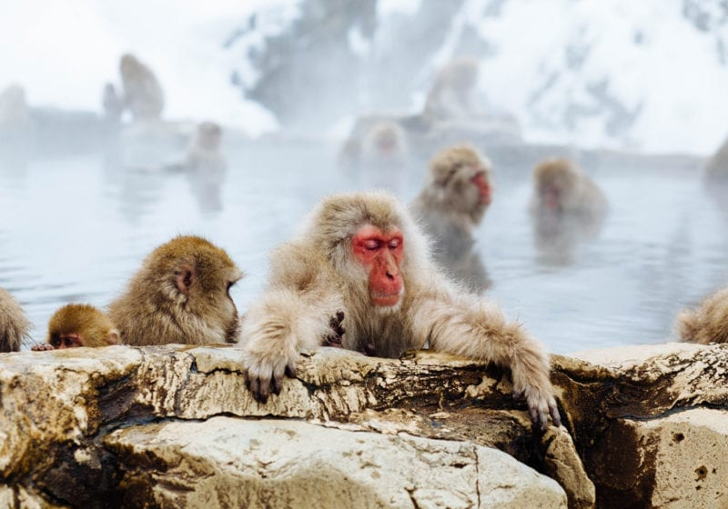 Red faced monkey in Japan