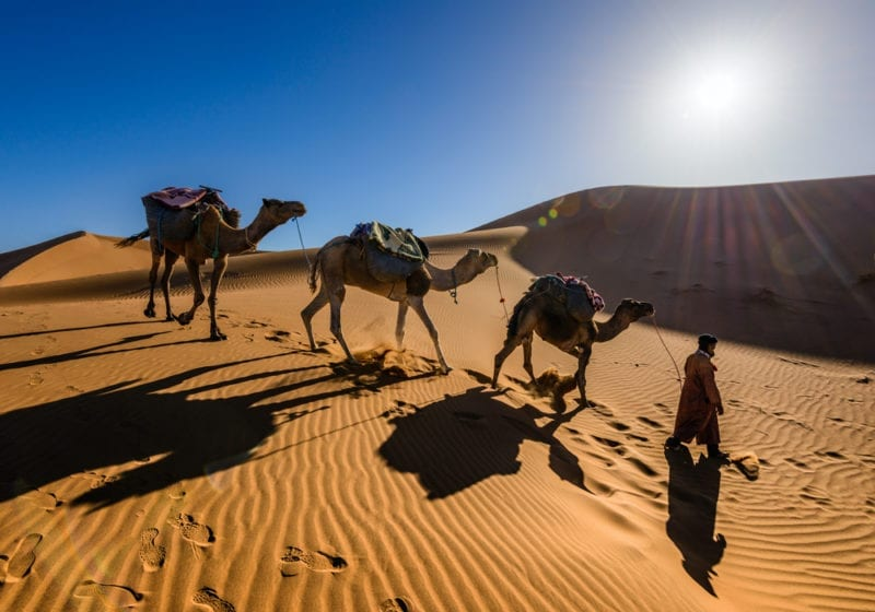 Morocco Camels In The Desert