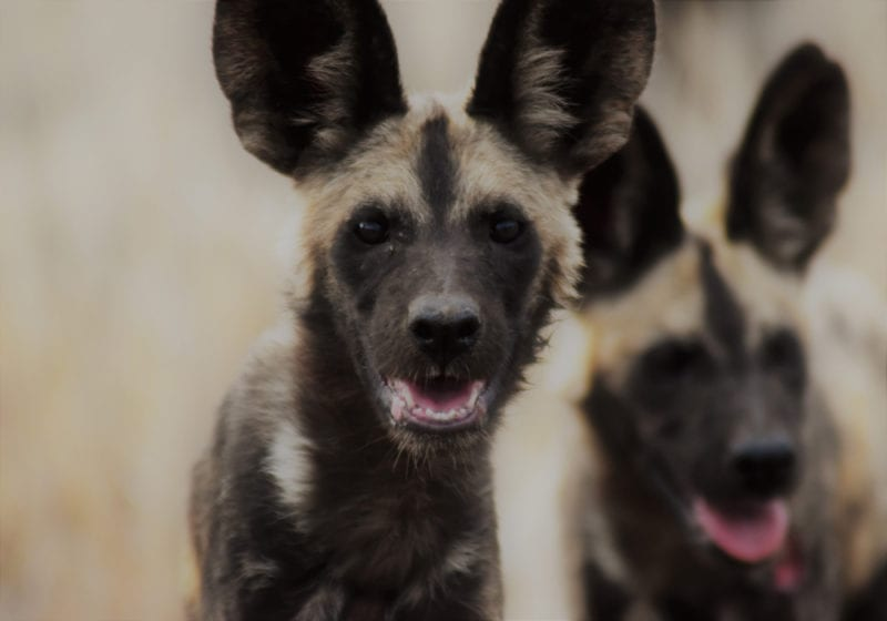 Mozambique African Wild Dogs