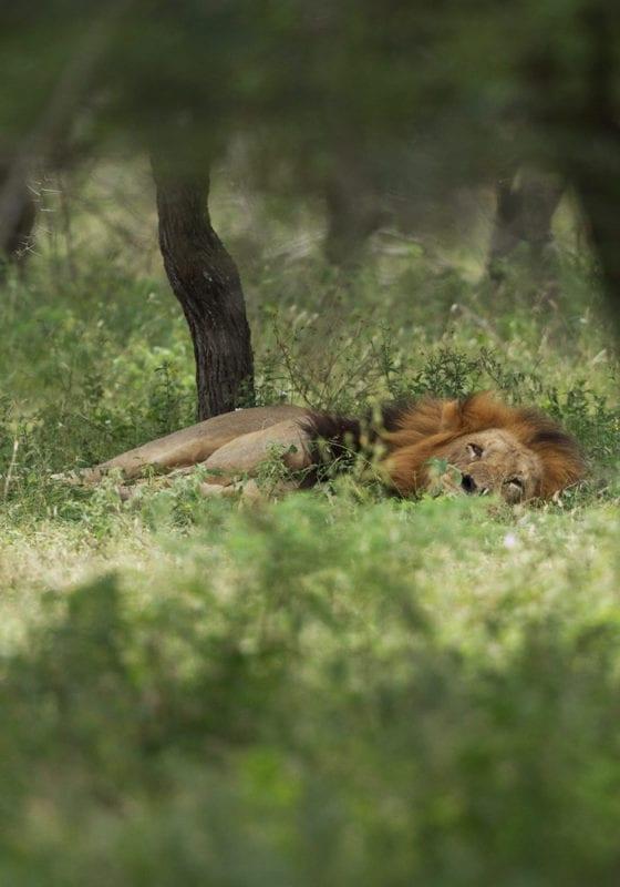Mozambique Sleeping Lion