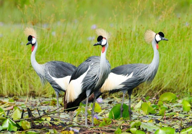 National Bird Uganda