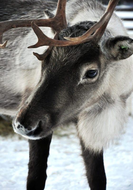 Reindeer in Sweden