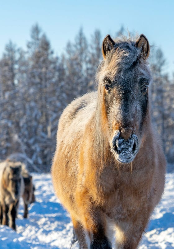 Russia Horse in the Snow