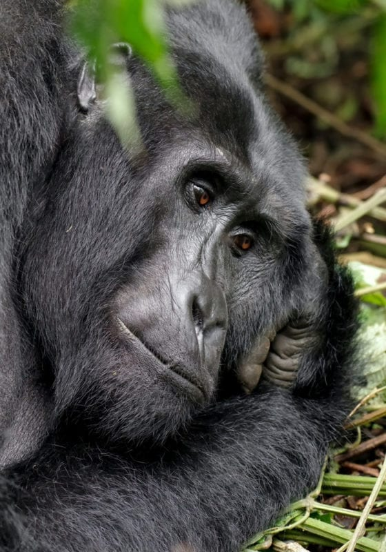 Gorilla Close up Rwanda