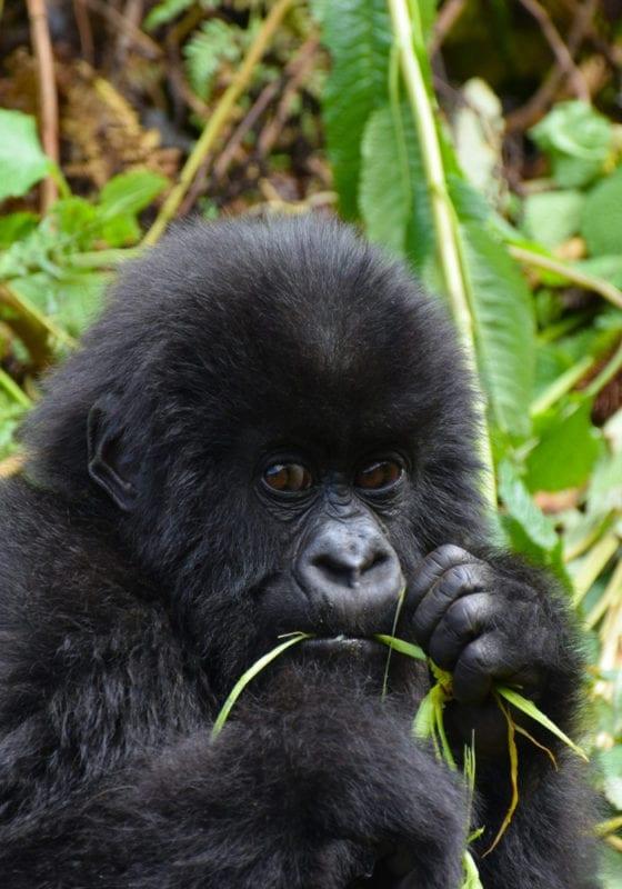 Rwanda Young Gorilla Eating