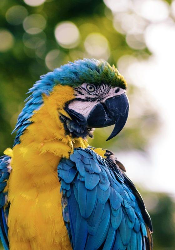Sao Tome and Principe Parrot