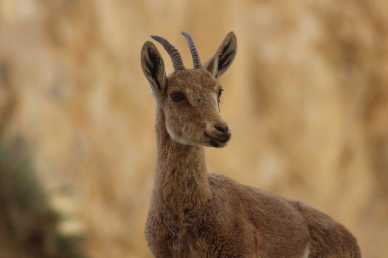 nubian ibex saudi arabia sharaan nature reserve