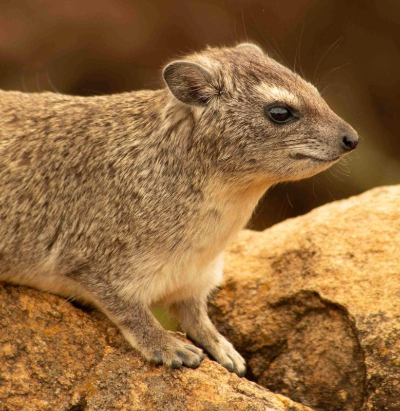rock hyrax sharaan nature reserve saudi arabia