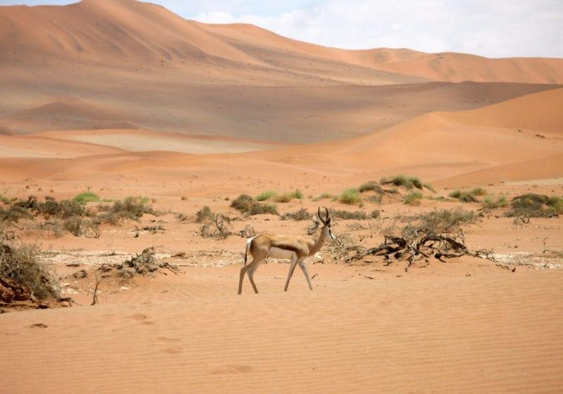 Springbok Namibia Desert