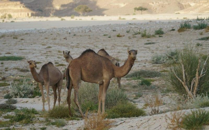 Three Camels in Oman