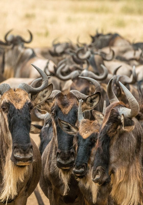 Zambian Wildebeest