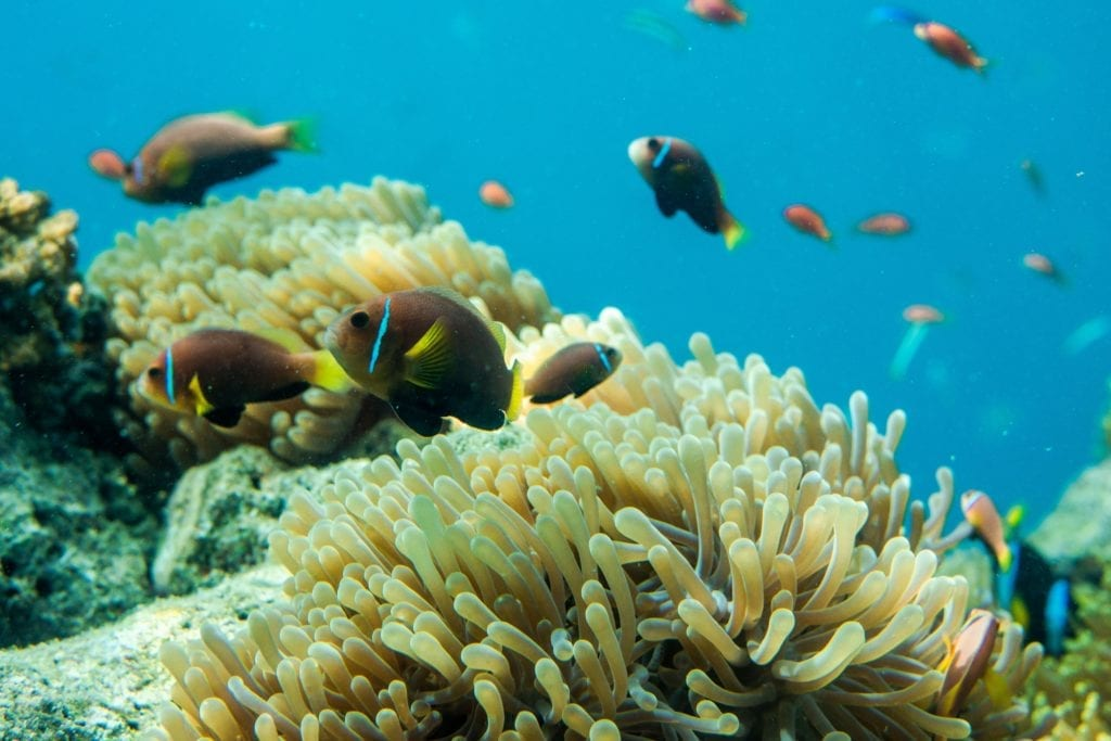 Fish in Coral Reef in the Maldives
