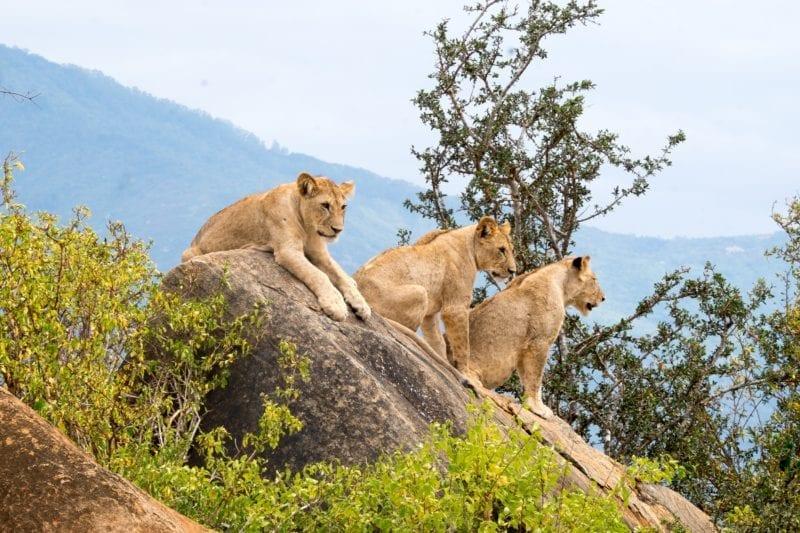 Lioness Cubs in Tsavo National Park Kenya