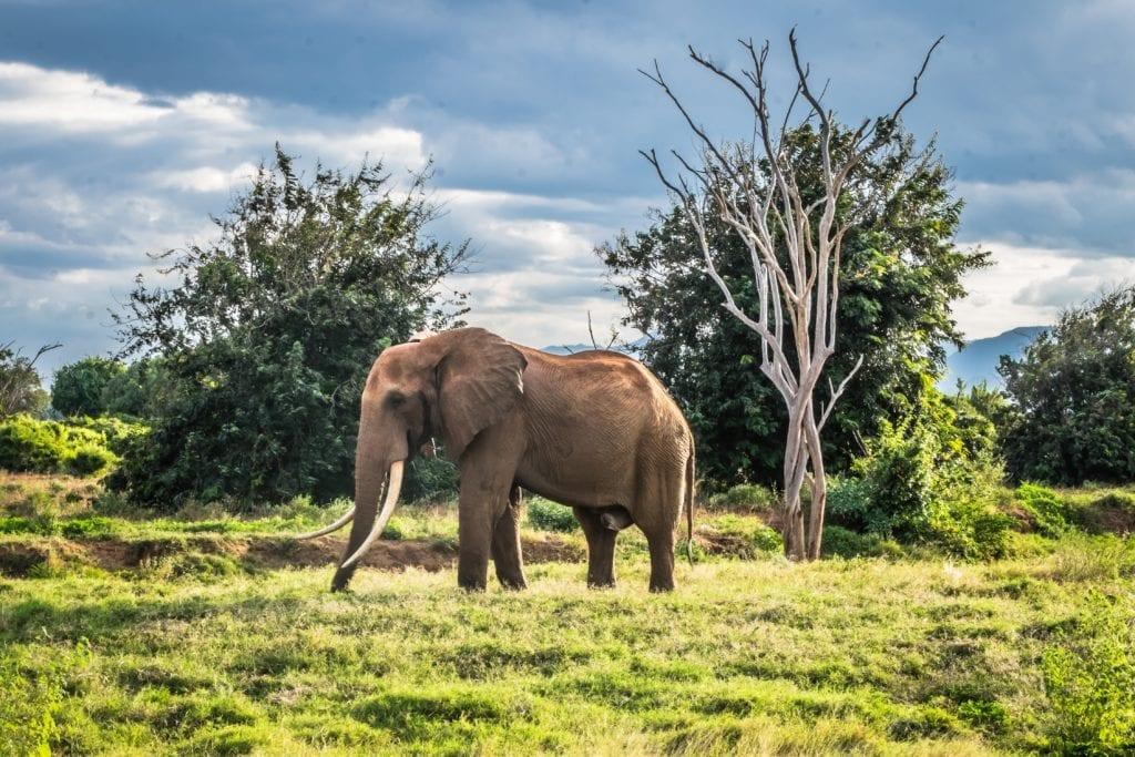Elephant in Tsavo National Park Kenya