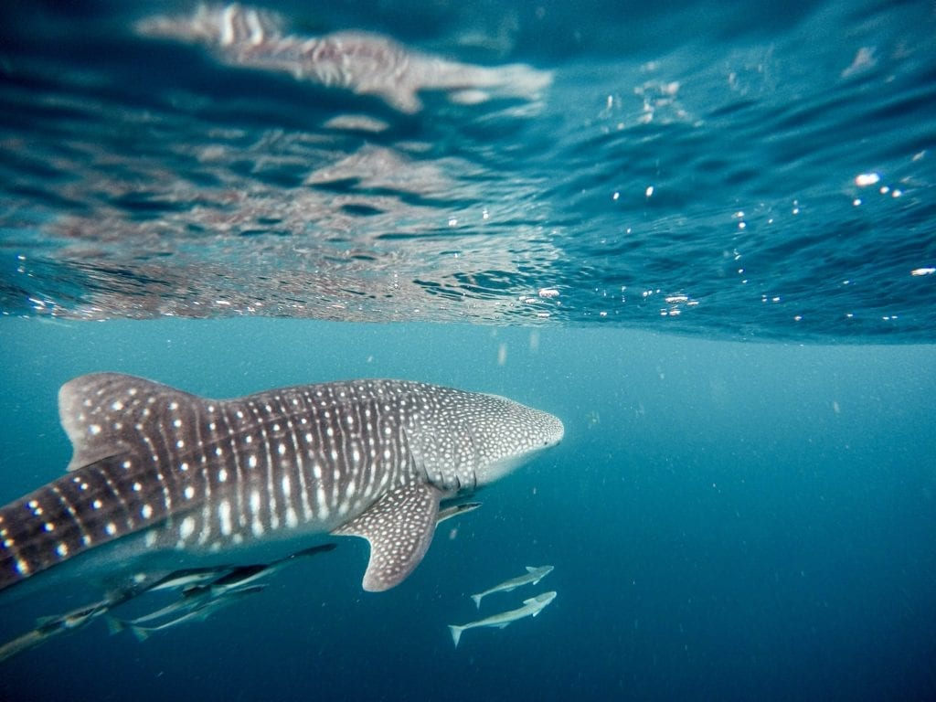 Whale Shark off the Coast of Kenya