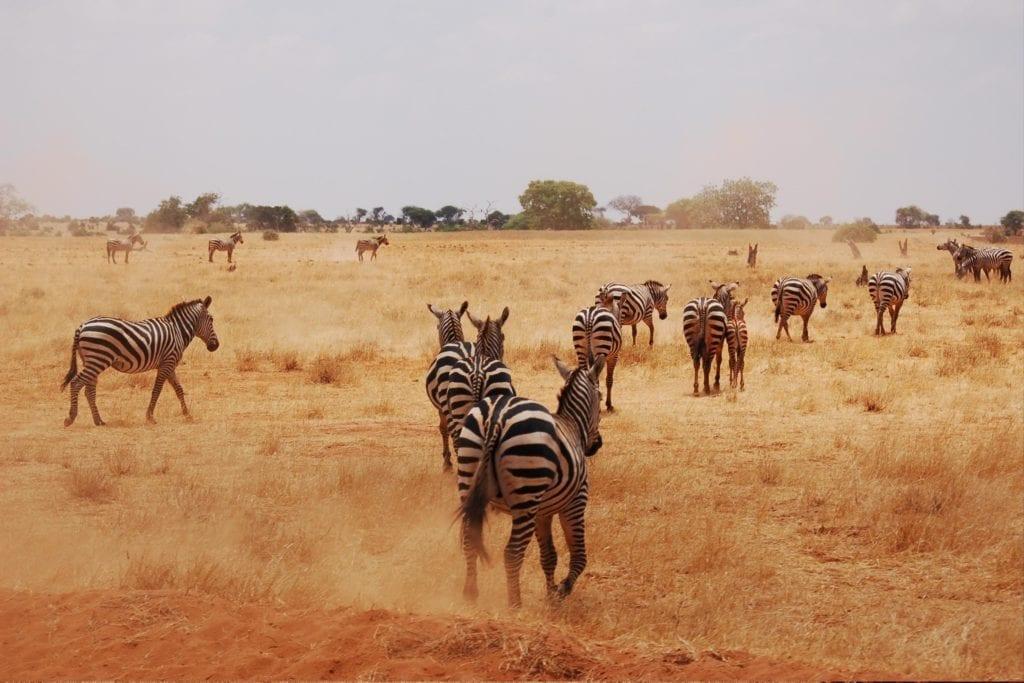 Zebras Running Away in Tsavo National Park Kenya