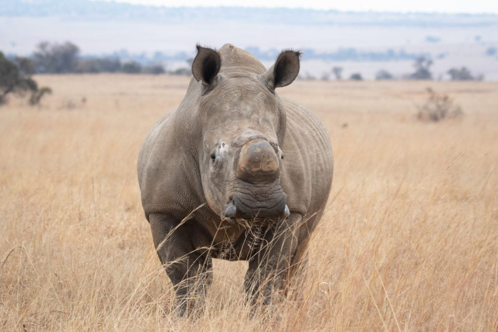savannah grassland black rhino