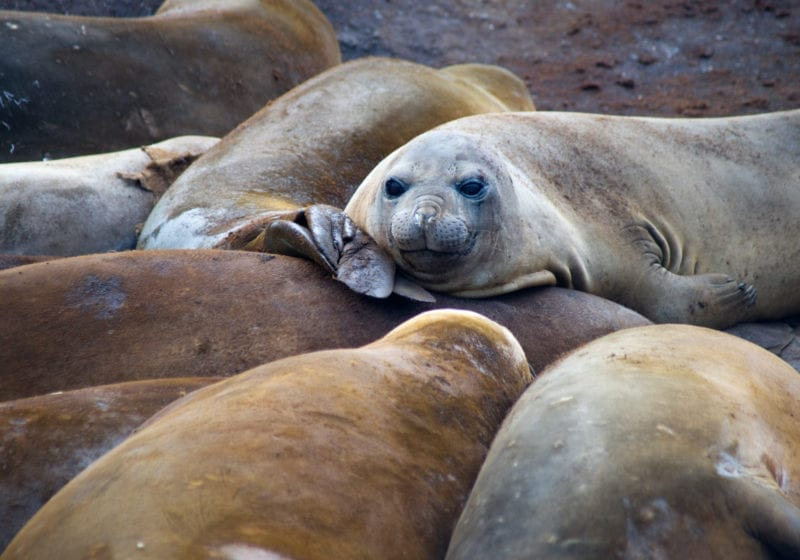 Elephant Seals piled on top one another relaxing