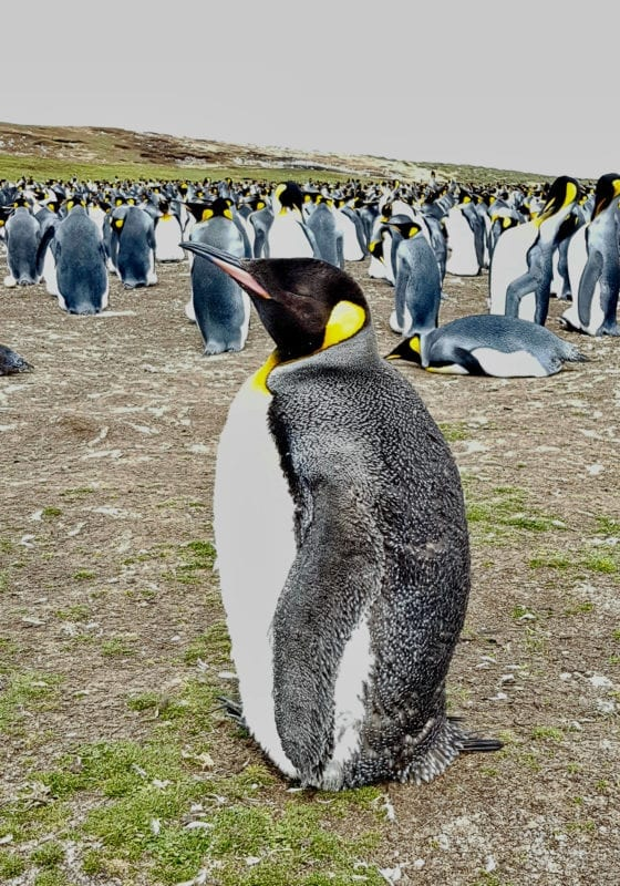 Close up of a single penguin huddling for warmth