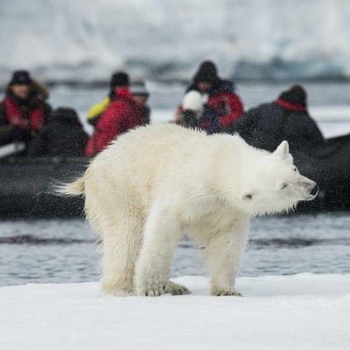 polar bear conservation