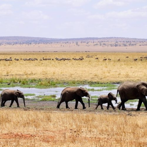 A family of elephants on an adventure across African plains