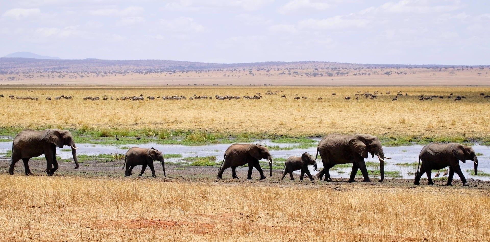 A family of elephants on an adventure across African plains