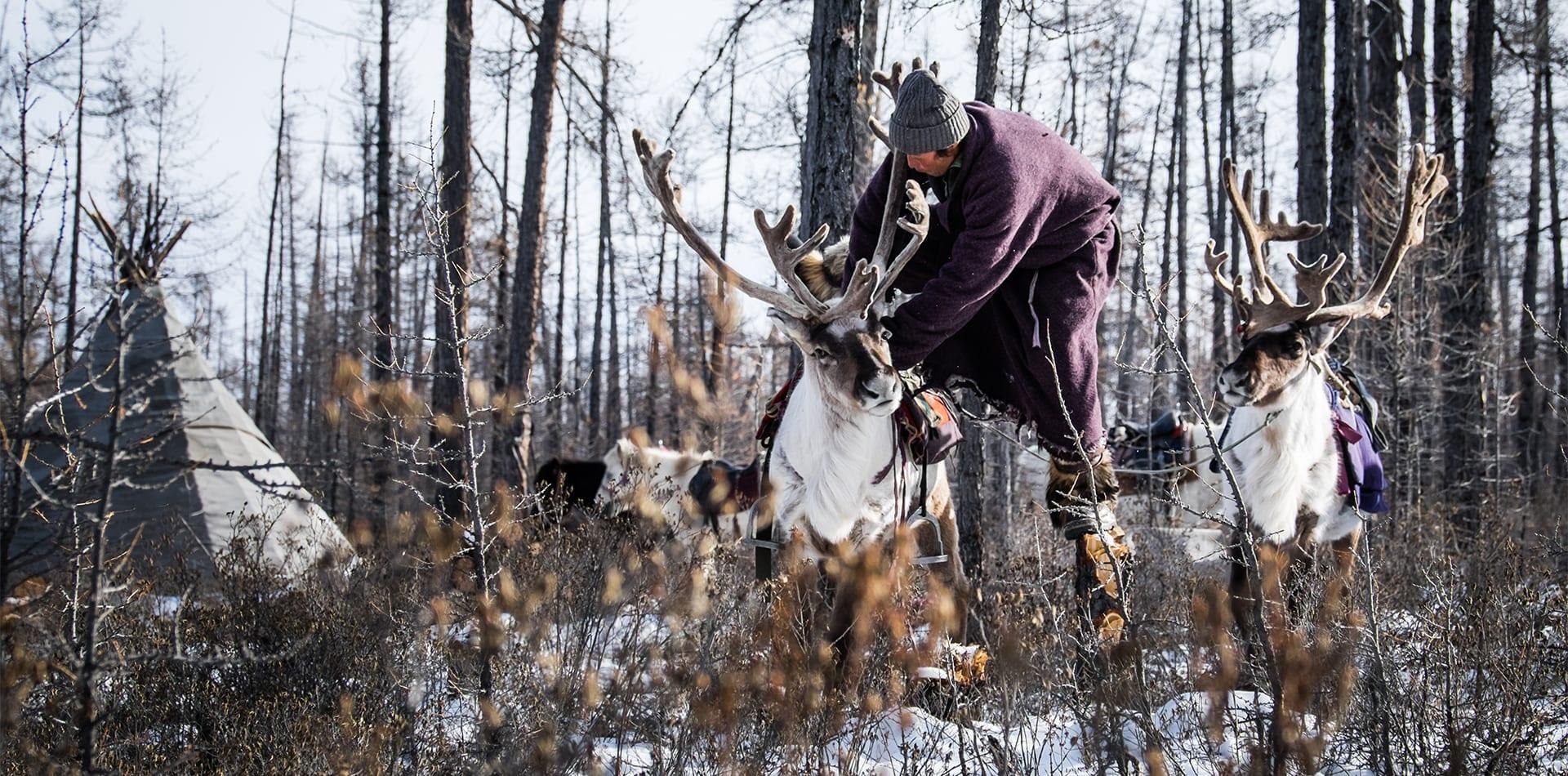 tsaatan people reindeer mongolia