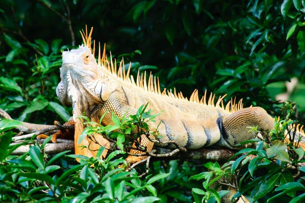 Lizard in the Costa Rican Jungle