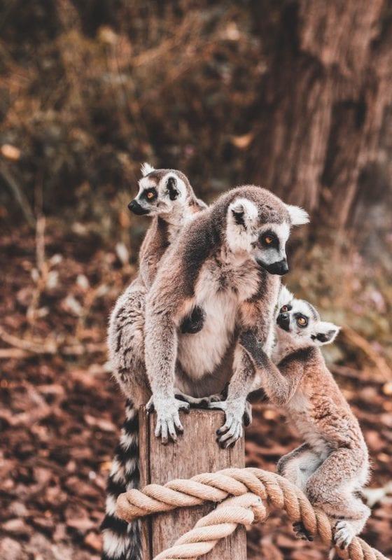 Lemurs on Nosy Be Archipelago Madagascar