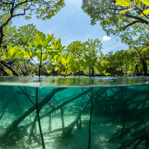 fish eye view mangrove forest