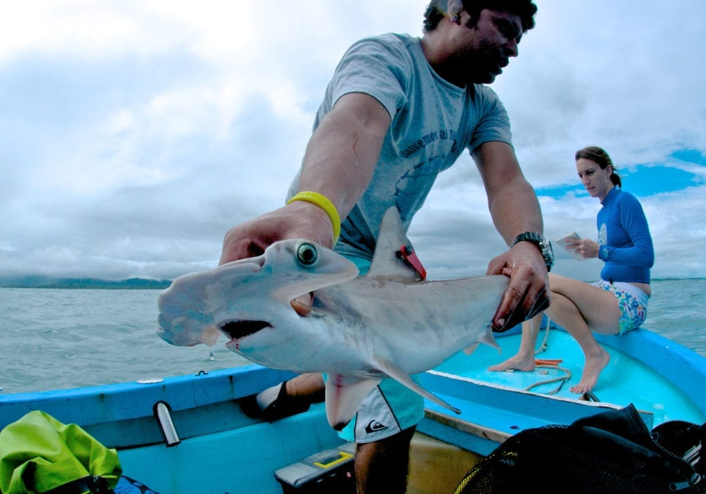 Hammerhead Shark Tagging Conservation in Costa Rica