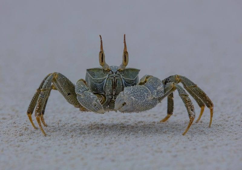 Ghost Crab in the Seychelles