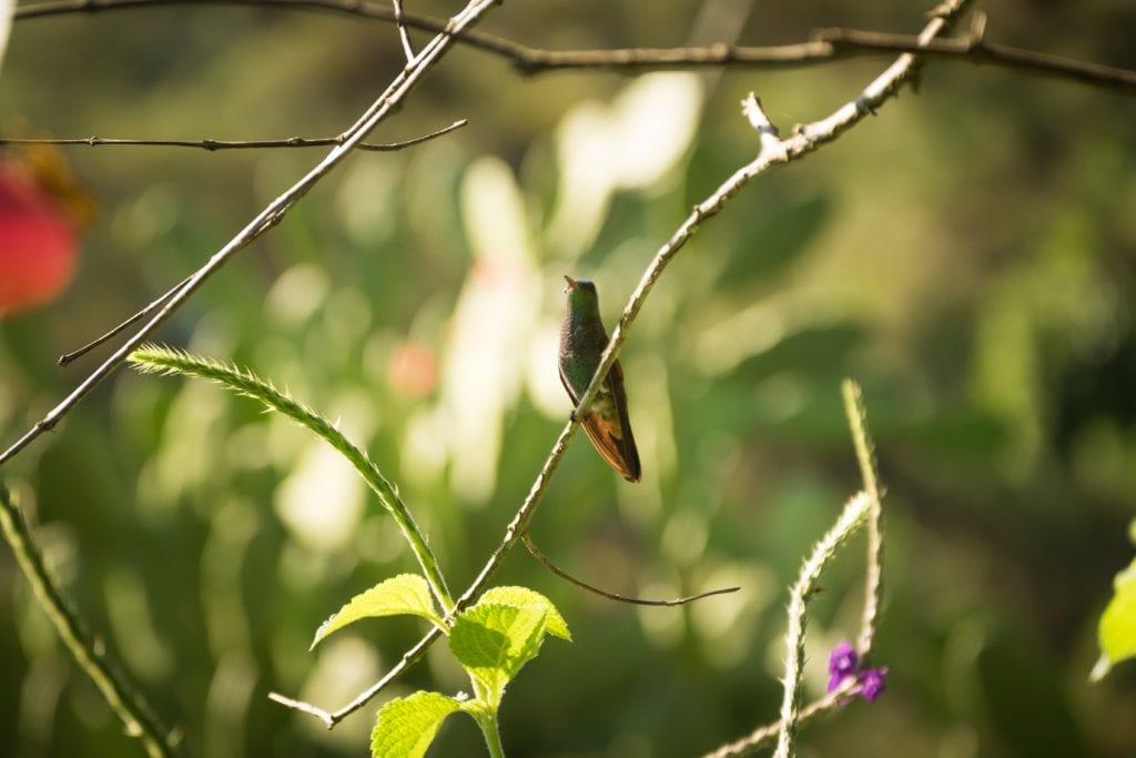 Hummingbird in the jungle in Honduras