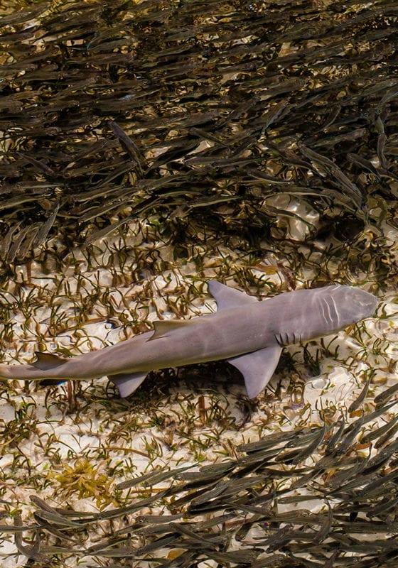 Shark in St Annes Seychelles