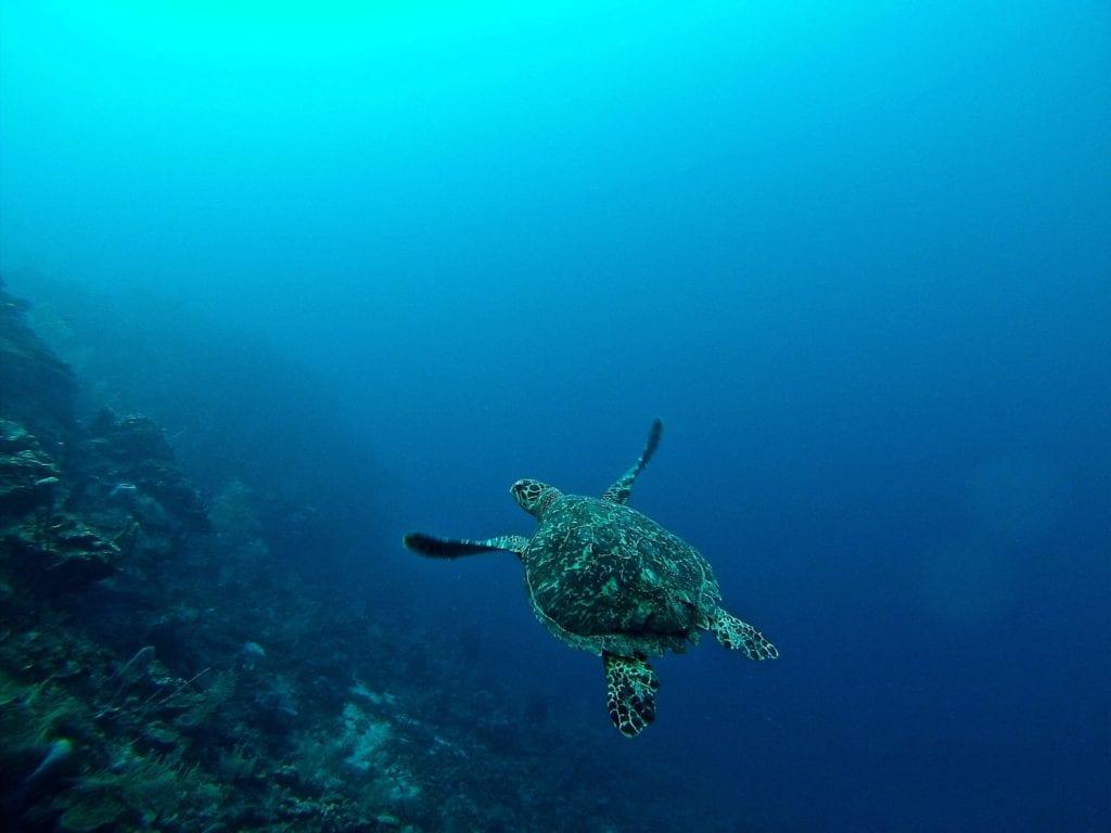 Turtle Under the Water in Honduras