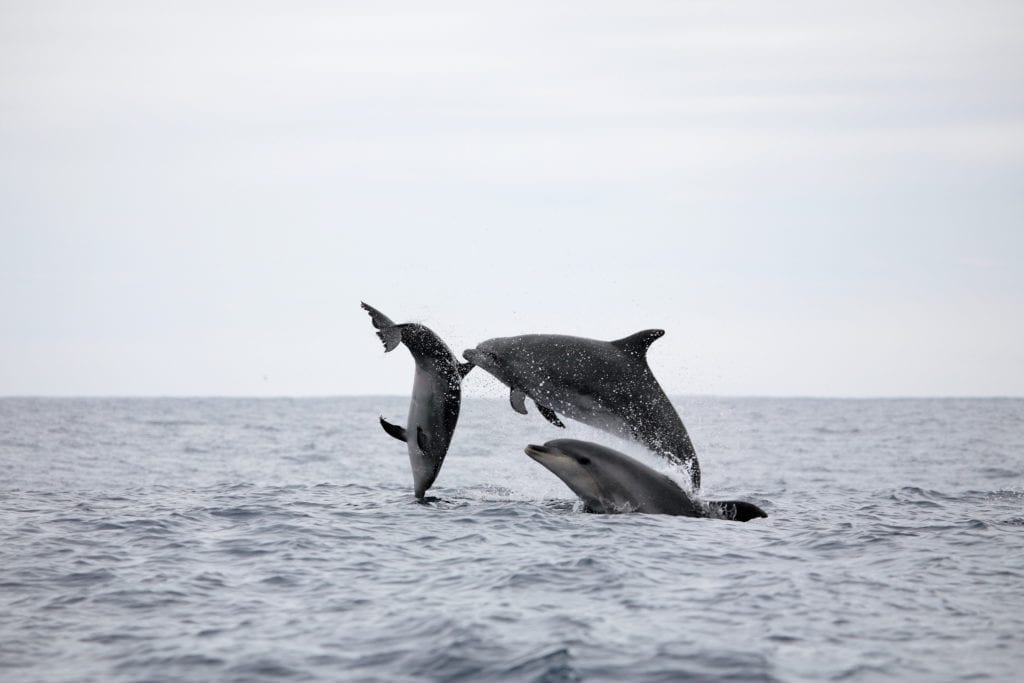 Dolphins in the Azores Islands