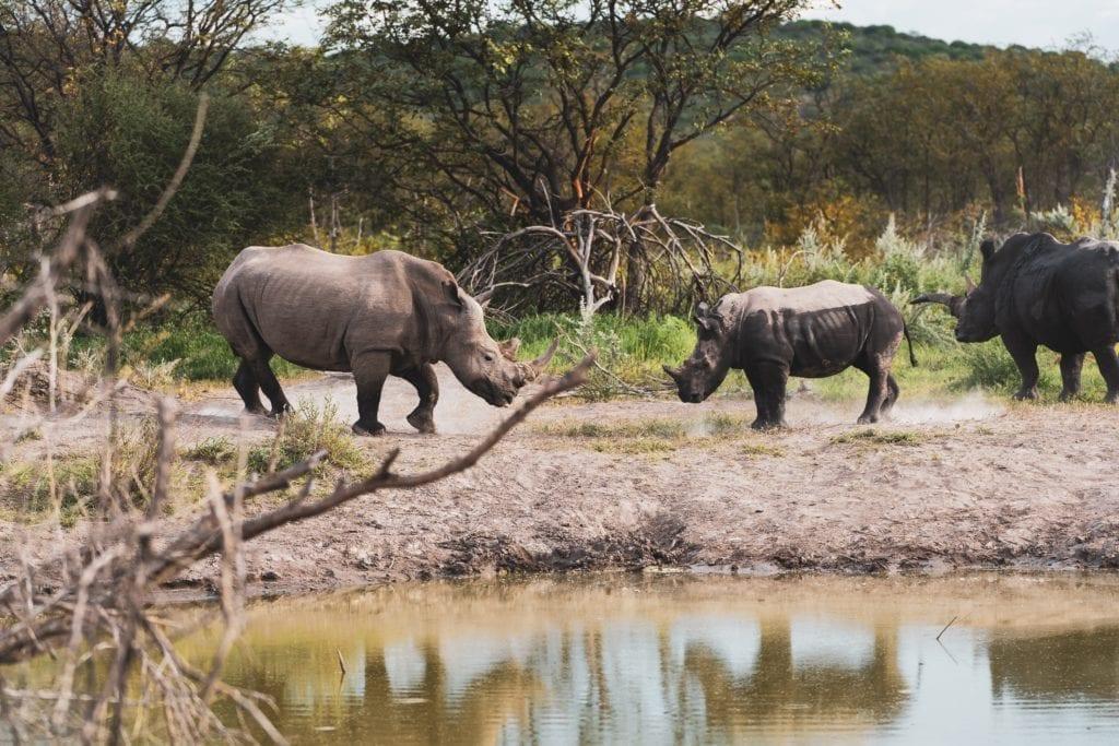 namibia rhinos estosha national park