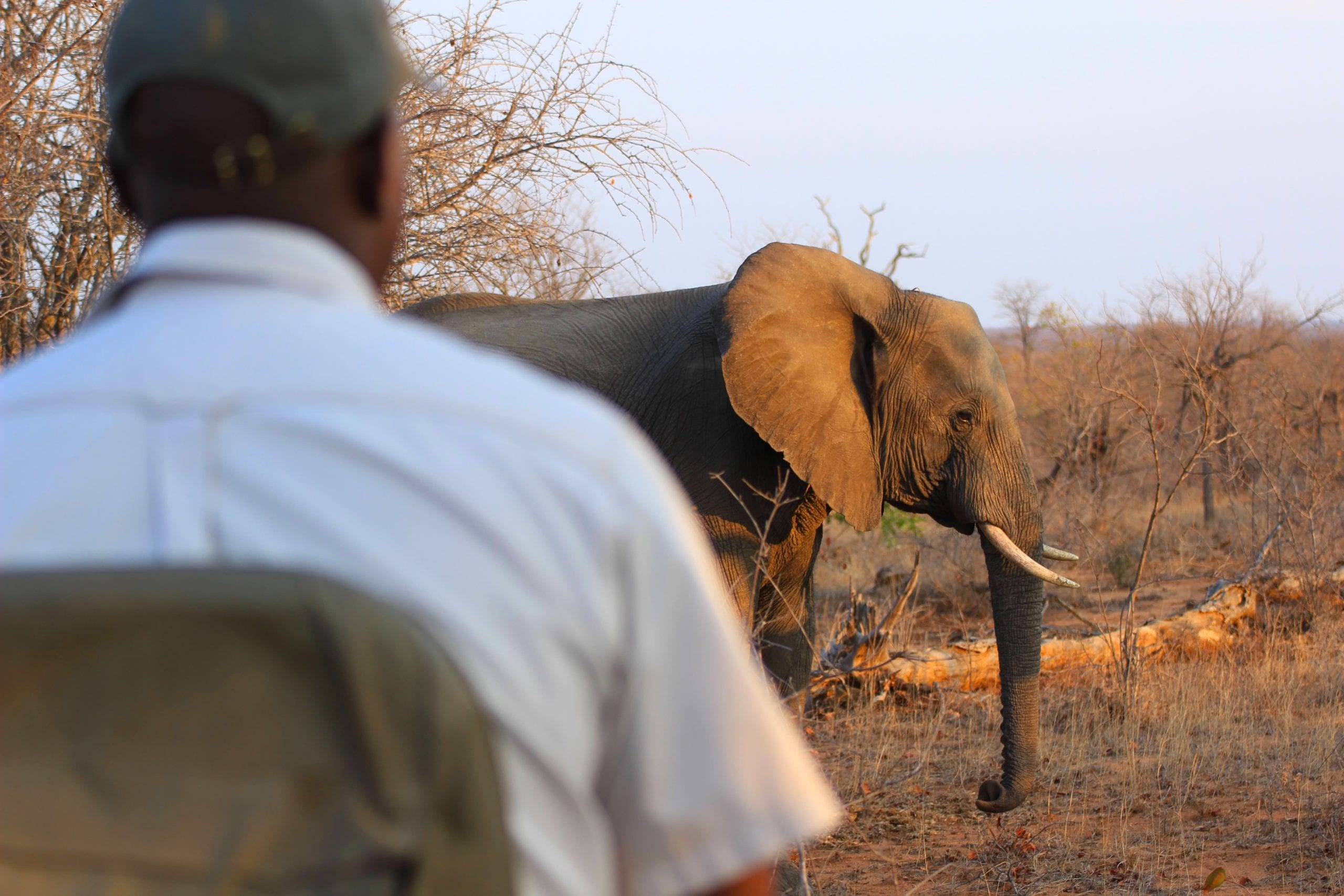Field ranger checking up on elephant at sunset