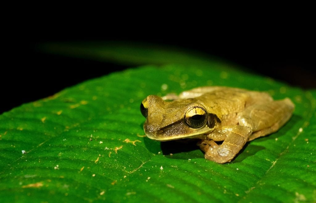 Frog on a leaf in the Peruvian amazon